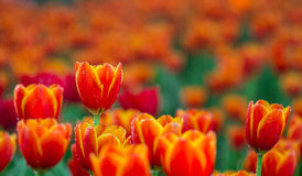 Tulips in garden Royalty Free Stock Image