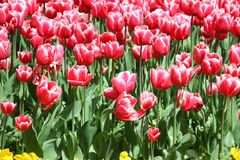 Tulips. A garden full of red tulips Stock Photography