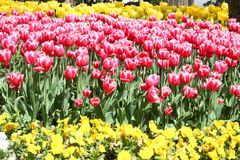 Tulips. A garden full of red and yellow tulips Stock Photo