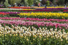 Tulips garden at Holland, Michigan Stock Images