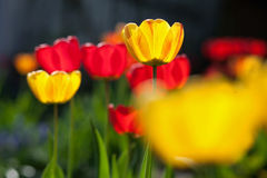 Tulips in the garden. Orange, yellow and red tulips in the garden royalty free stock photo