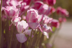 Tulips in garden Royalty Free Stock Photography