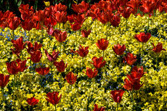 Tulips. A garden of red tulips amongst yellow flowers on a sunny spring day Stock Images