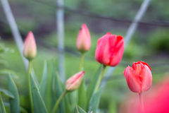 Tulips in garden Stock Photo