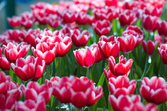 Tulips in the garden. Red Tulip flowers foggy sprayed in the morning Stock Photo