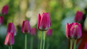 Tulips in garden. Red tulips swaying in the wind. Royalty Free Stock Image