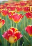 Tulips in garden Stock Images