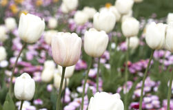 Tulips - RAW format royalty free stock images