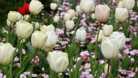 Tulips. On a garden in spring