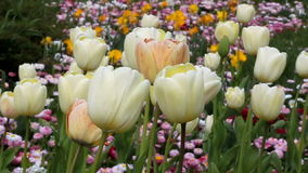 Tulips. On a garden in spring stock footage