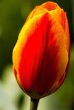 Tulips in the garden Stock Photos