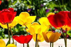Tulips in a garden . spring theme Royalty Free Stock Images