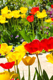 Tulips in a garden . spring theme Stock Images