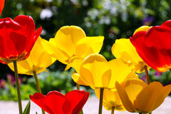 Tulips in a garden . spring theme Royalty Free Stock Image