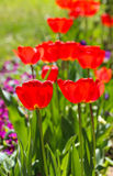 Tulips in a garden . spring theme Royalty Free Stock Photo