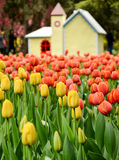 Tulips in a garden Stock Images