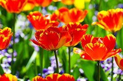 Tulips in the garden Royalty Free Stock Images