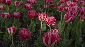 Tulips garden. With sunlighted flowers Stock Photography