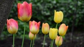 Tulips in garden. Swinging in the wind stock video footage