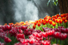 Tulips in the garden. Tulip flowers foggy sprayed in the morning Stock Photos