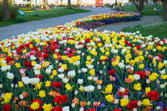 Tulips garden Royalty Free Stock Photo