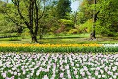 Tulips garden Stock Photos