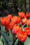 Tulips at the Gate. Haarlem (NLD) - Red tulips are a famous export product of the Netherlands Royalty Free Stock Images
