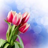Tulips.  Gift Card. Stock Image