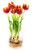 Tulips in a Glass Vase Stock Photo