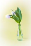 Tulips in glass vase on yellow background with vignette Royalty Free Stock Photos