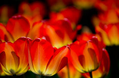 Tulips glowing at night Royalty Free Stock Photo