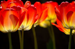 Tulips glowing at night Stock Images