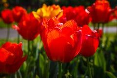 Tulips Glowing in Sunlight Stock Photos