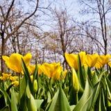 Tulips - Golden varietie Royalty Free Stock Photo