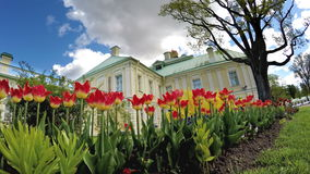 Tulips before the Grand Menshikov Palace. St. Petersburg, Lomonosov, Russia. Tulips before the Grand Menshikov Palace. St Petersburg Lomonosov Russia stock video footage