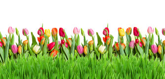 tulips and grass border Stock Photography