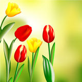 Tulips on green background Stock Photos