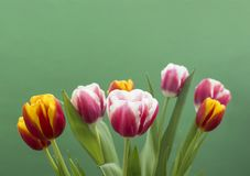 Sweet tulips on green background stock images