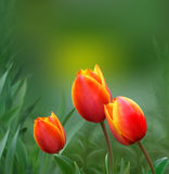 Tulips on a green background. Red tulips against a background of thickets. EPS 10 vector Royalty Free Stock Photos