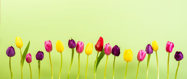 Tulips on Green Backround Stock Images