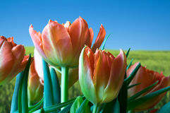 Tulips and green field Stock Photo