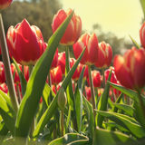 Tulips in green foliage Stock Images