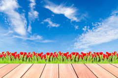 Tulips with green grass against blue sky and plank wood Royalty Free Stock Image