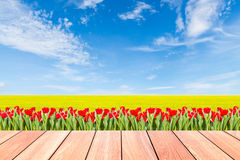 Tulips with green rice field against blue sky and plank wood Royalty Free Stock Photo