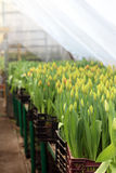 Tulips in the greenhouse Stock Photography