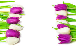 Tulips, greeting card Stock Images