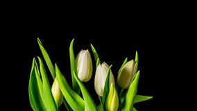 Tulips grow and bloom , 4K time-lapse. Tulips grow and bloom , 4K time lapse stock video