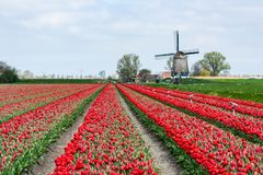 Tulips grow in a farm in West Friesland, Netherlands. West Friesland, Netherlands-April 24, 2015: Red Tulips grow in a field with a Windmill in the background stock photos