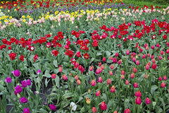 Tulips grow on a fields beds Stock Photo