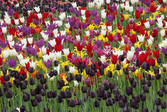 Tulips Grow On A Meadow Background